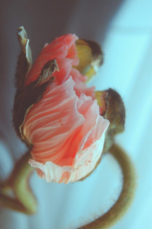 poppink